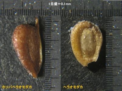 痩果の比較