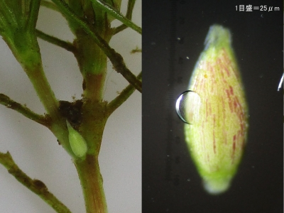 オオトリゲモの雄花