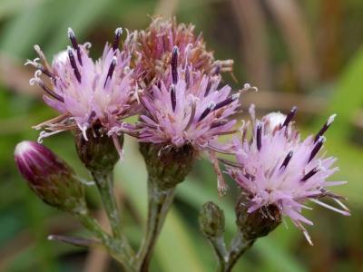 ホクチアザミの花