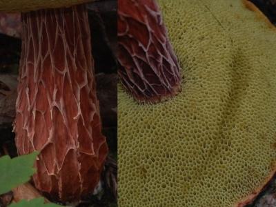 セイタカイグチの柄と管孔部