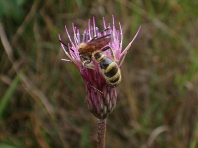 訪花したオオハラナガツチバチ