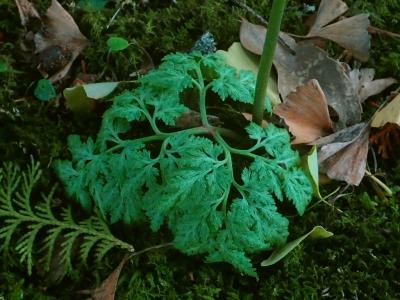 ハナワラビsp.の栄養葉