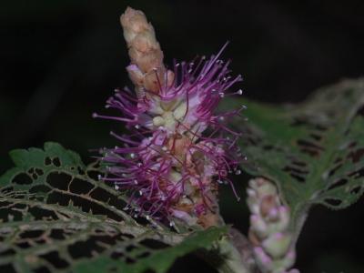 ミカエリソウの花