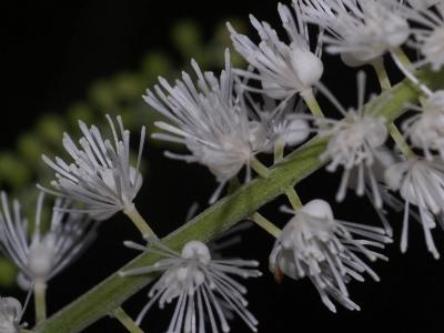 サラシナショウマの花