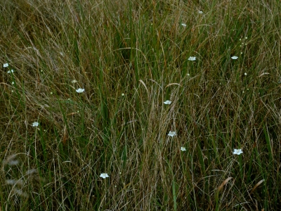ウメバチソウの咲く貧栄養湿地