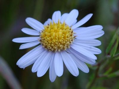 ヤマジノギクの花