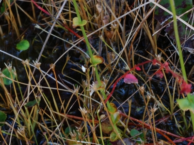 オオシラヒゲソウの茎葉