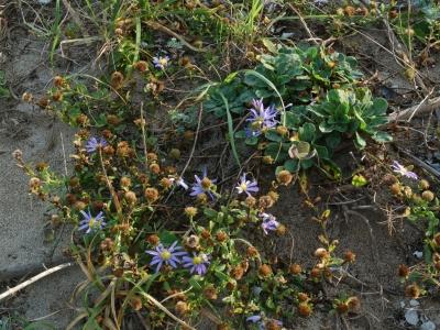 ハマベノギクの草体