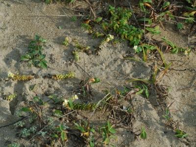 海浜植物の生育状態の例