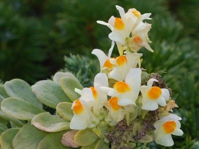 ウンランの花