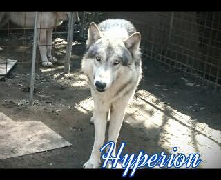 ヒュペリオン♂