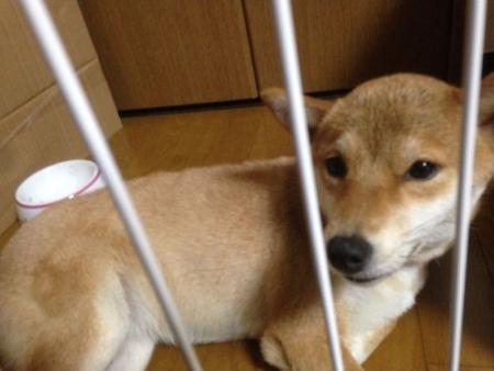福岡芝犬02
