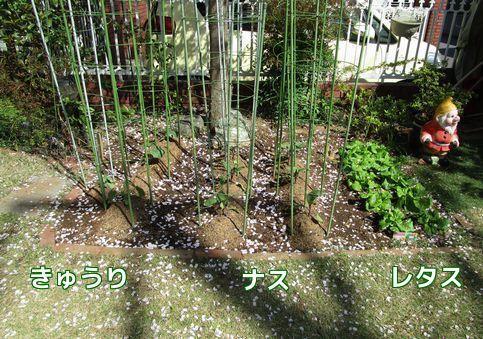 家庭菜園②