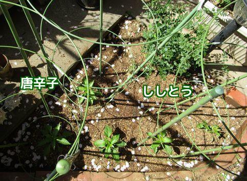 家庭菜園③
