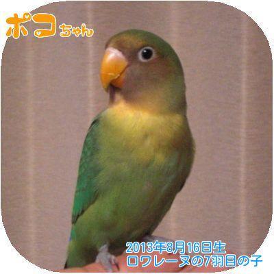 ロワレーヌ7羽目雛