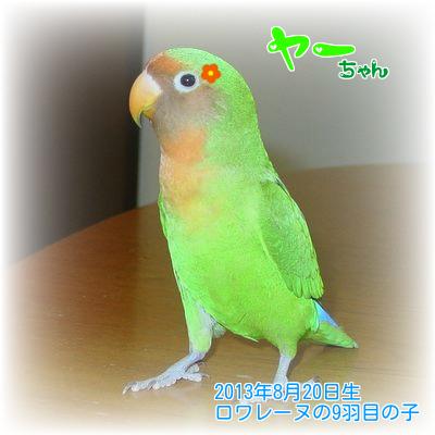ロワレーヌ9羽目雛