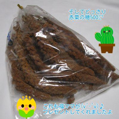 ⑥赤粟の穂