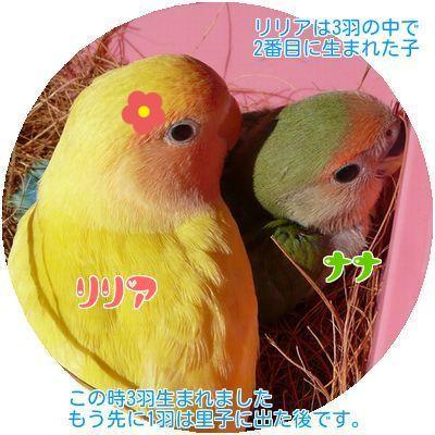 ④リリアとナナ