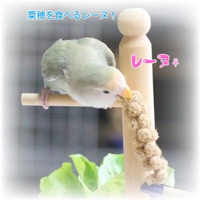 ④レーヌ粟穂