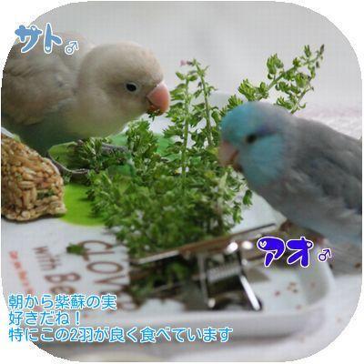①紫蘇の実大好き