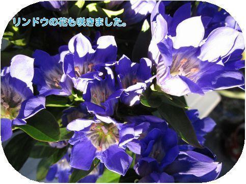 ①リンドウ