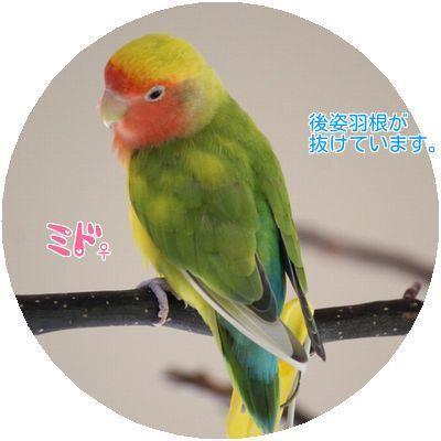 ①ミド換羽