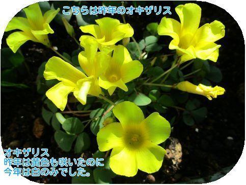 ⑤オキザリス黄色