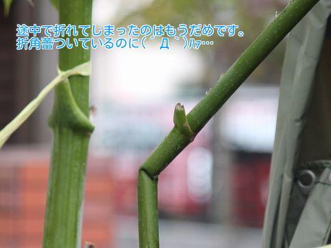 ⑥折れた茎