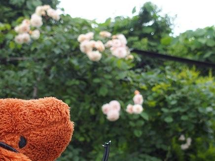 バラもキレイに咲いてましゅ