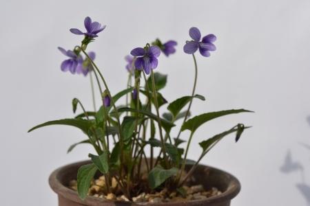 ヘイリンジスミレ(薄紫細弁)