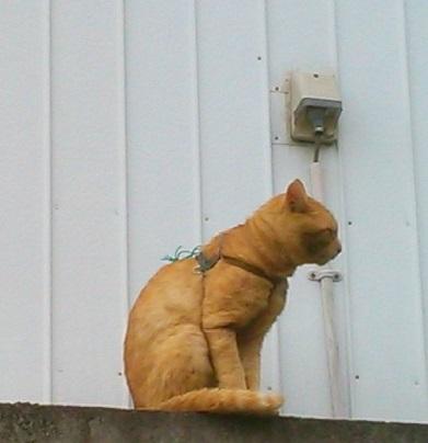 ハーネス猫 KIMG0172