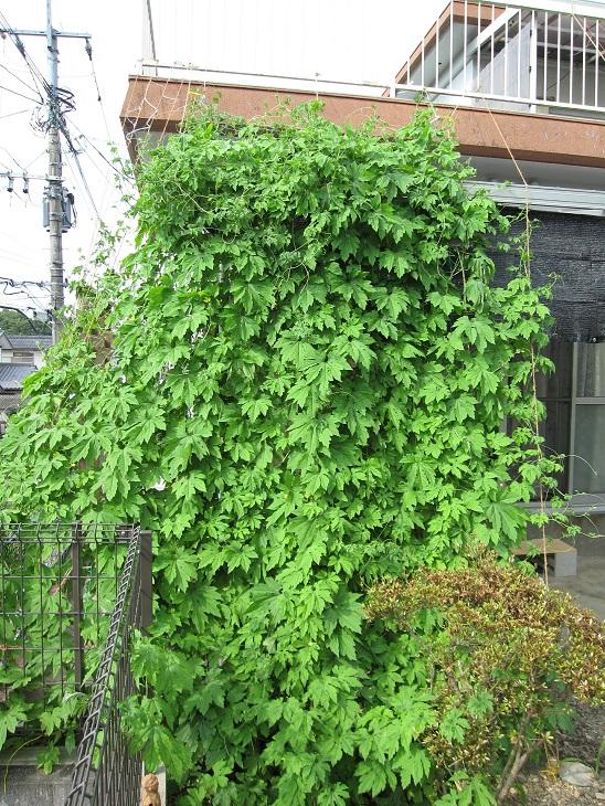 緑のカーテン3