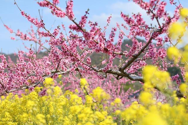 IMG_7222桃の花