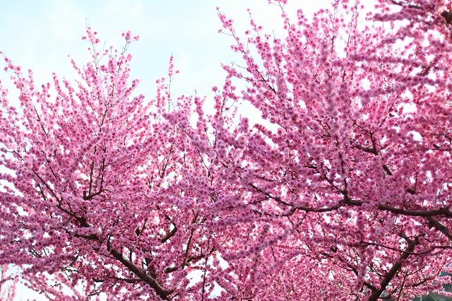 IMG_7278桃の花
