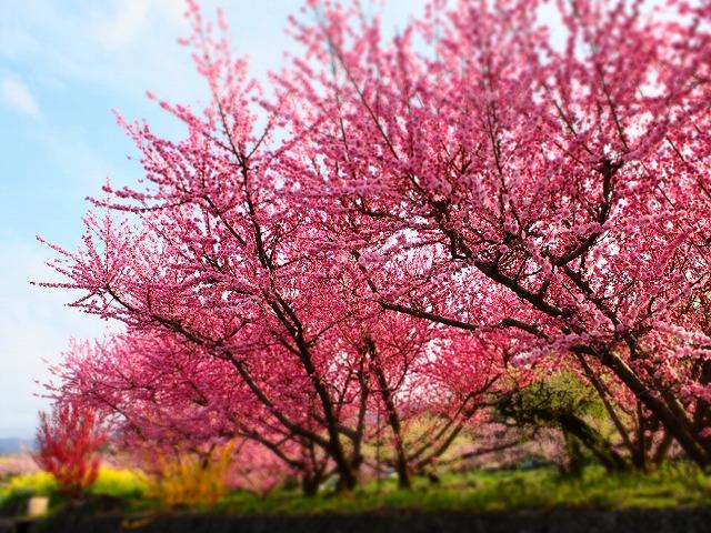P4120021桃の花
