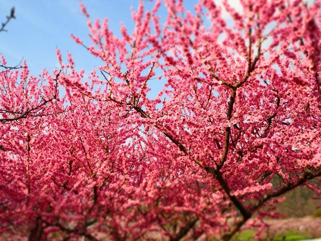 P4120025桃の花
