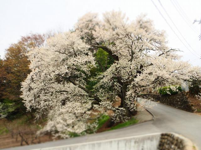 P4130072関の桜