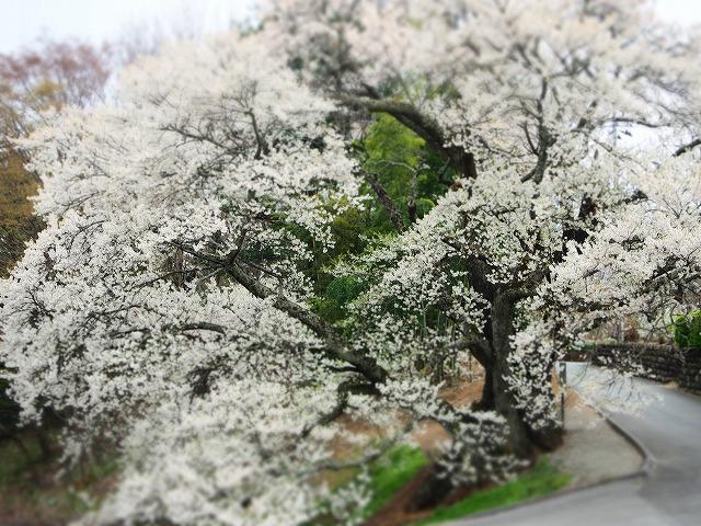 P4130073関の桜