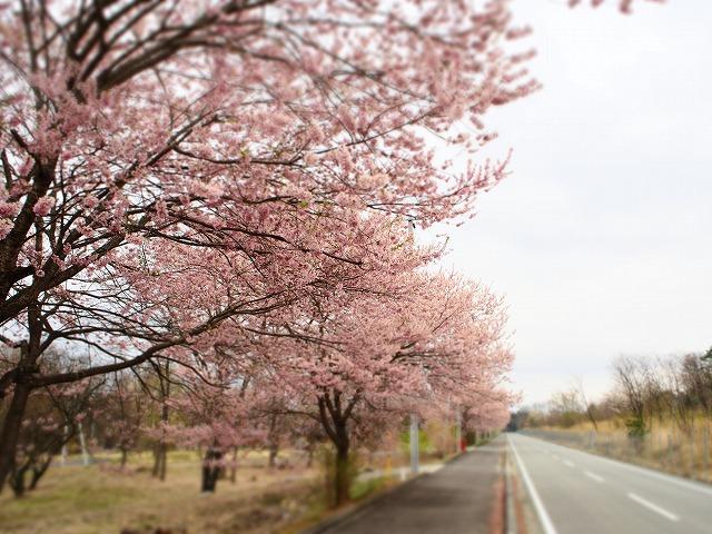 P4130075桜並木