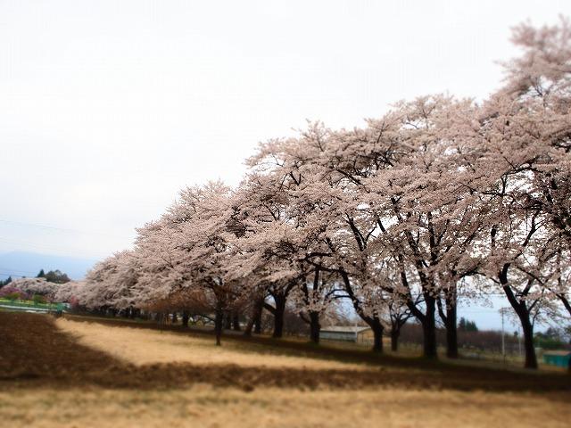 P4130079桜並木