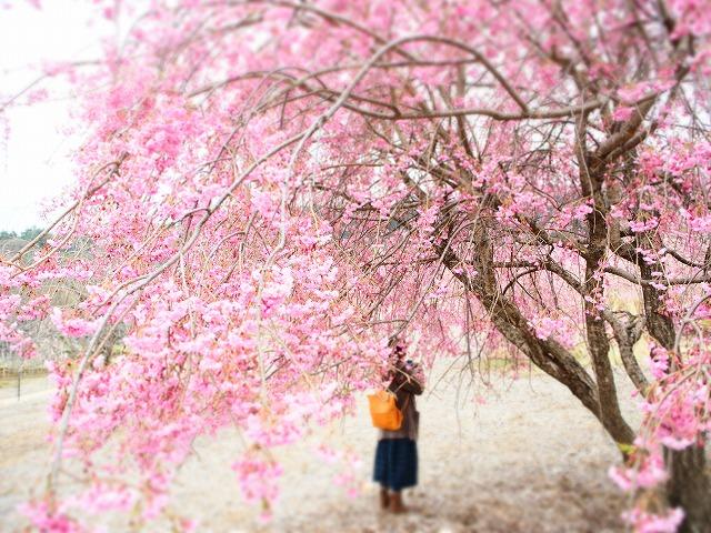 P4130081桜並木