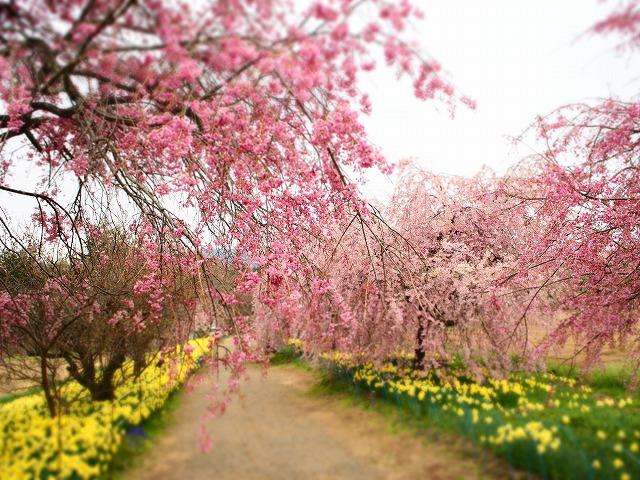 P4130089桜並木