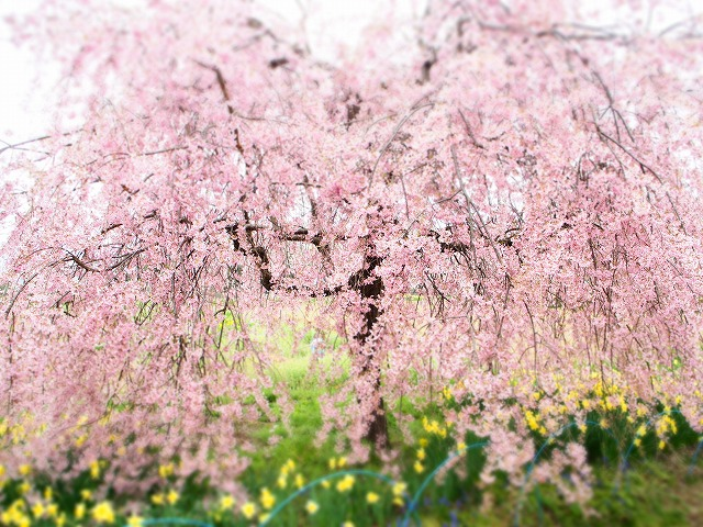 P4130092桜並木