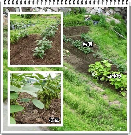 豆類畑(2)