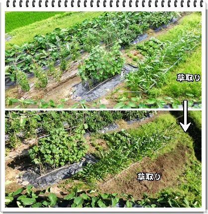 草取り(夏野菜畑)