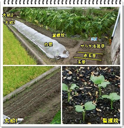 冬野菜畑1