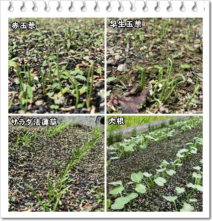 冬野菜畑1芽