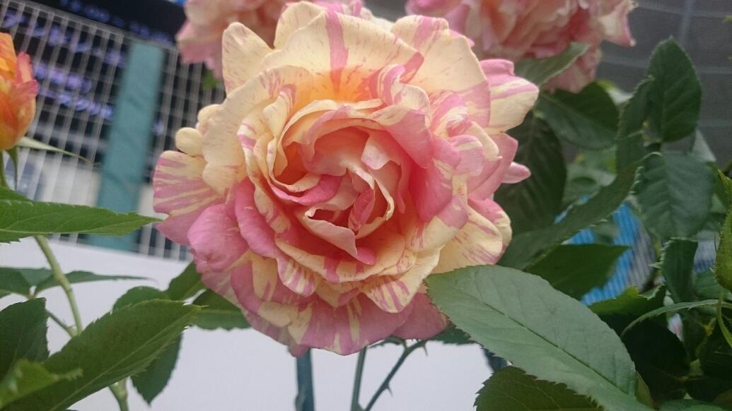 160610_roses_12.jpg