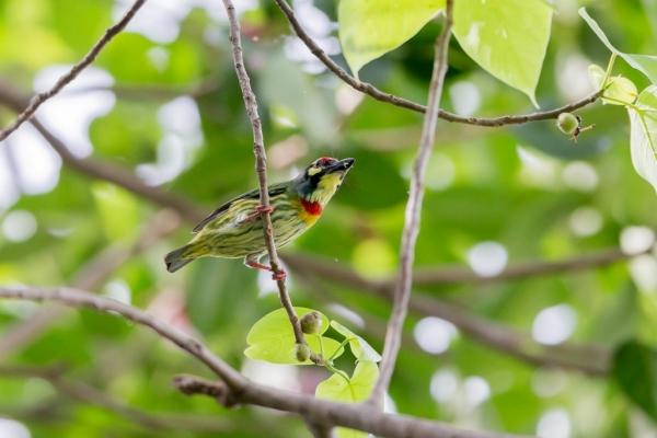 ムネアカゴシキドリ17