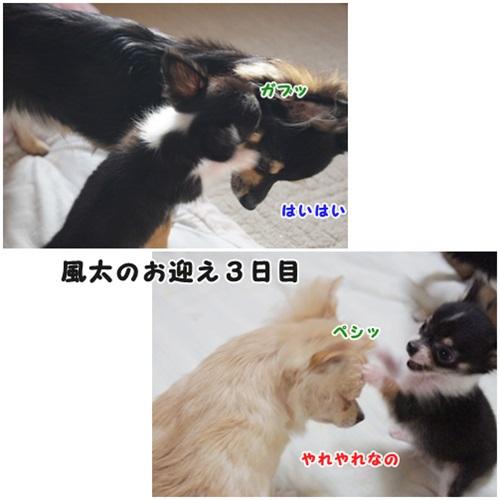 風ちゃんのお迎え記念日-1